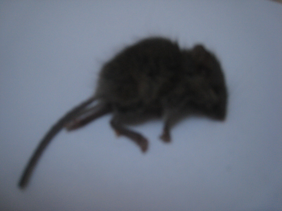 deadmouse.jpg